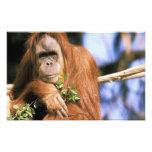 Captive orangutan, or pongo pygmaeus. photo print