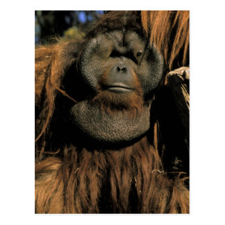 Captive orangutan, or pongo pygmaeus. postcard