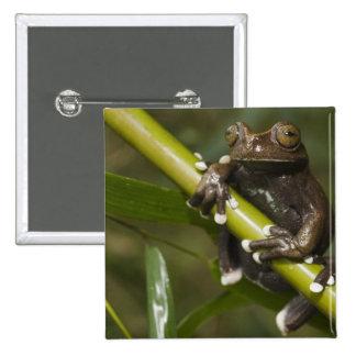 Captive Tapichalaca Tree Frog Hyloscirtus 2 Button