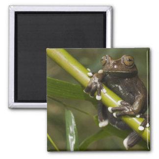 Captive Tapichalaca Tree Frog Hyloscirtus 2 Magnet