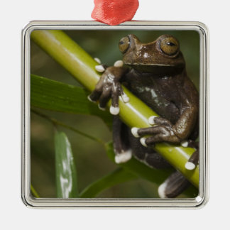 Captive Tapichalaca Tree Frog Hyloscirtus 2 Metal Ornament