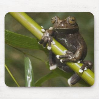 Captive Tapichalaca Tree Frog Hyloscirtus 2 Mouse Pad
