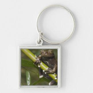 Captive Tapichalaca Tree Frog Hyloscirtus 2 Silver-Colored Square Keychain