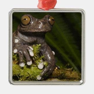Captive Tapichalaca Tree Frog Hyloscirtus 3 Metal Ornament