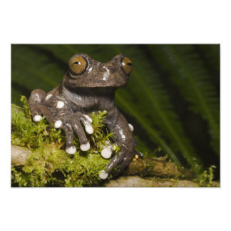 Captive Tapichalaca Tree Frog Hyloscirtus 3 Photographic Print