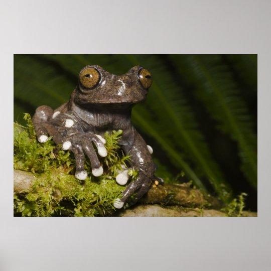 Captive Tapichalaca Tree Frog Hyloscirtus 3 Poster