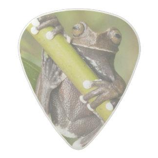 Captive Tapichalaca Tree Frog Hyloscirtus Acetal Guitar Pick