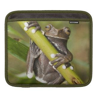Captive Tapichalaca Tree Frog Hyloscirtus iPad Sleeve