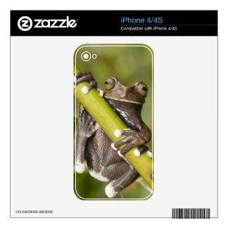 Captive Tapichalaca Tree Frog Hyloscirtus iPhone 4 Decals