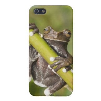 Captive Tapichalaca Tree Frog Hyloscirtus iPhone SE/5/5s Case