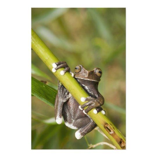 Captive Tapichalaca Tree Frog Hyloscirtus Photo Print