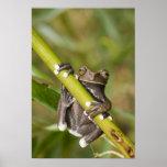 Captive Tapichalaca Tree Frog Hyloscirtus Poster