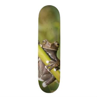 Captive Tapichalaca Tree Frog Hyloscirtus Skateboard Deck