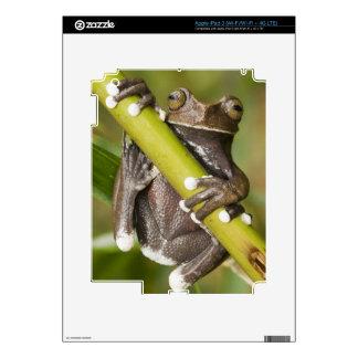 Captive Tapichalaca Tree Frog Hyloscirtus Skins For iPad 3