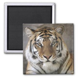 captive Tiger, Folsom City Zoo Sanctuary, 2 Inch Square Magnet
