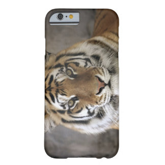 captive Tiger, Folsom City Zoo Sanctuary, Barely There iPhone 6 Case