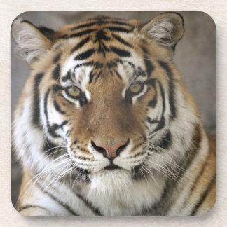 captive Tiger, Folsom City Zoo Sanctuary, Beverage Coaster