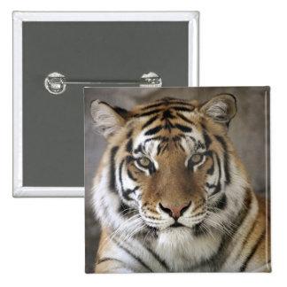 captive Tiger, Folsom City Zoo Sanctuary, Button