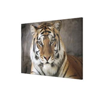 captive Tiger, Folsom City Zoo Sanctuary, Canvas Print