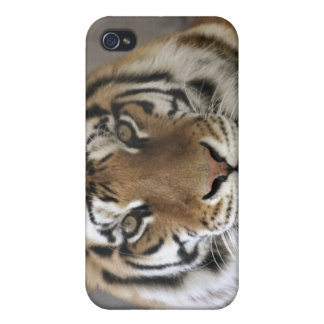 captive Tiger, Folsom City Zoo Sanctuary, iPhone 4/4S Cover