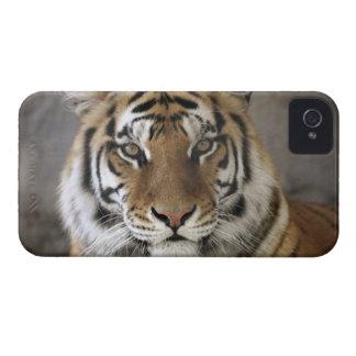 captive Tiger, Folsom City Zoo Sanctuary, iPhone 4 Case