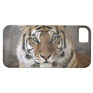 captive Tiger, Folsom City Zoo Sanctuary, iPhone SE/5/5s Case