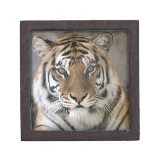 captive Tiger, Folsom City Zoo Sanctuary, Jewelry Box