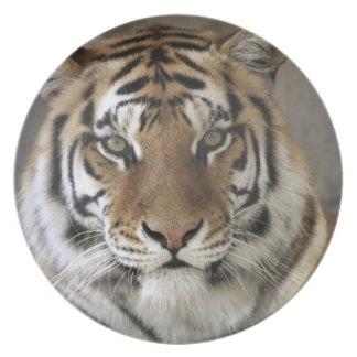 captive Tiger, Folsom City Zoo Sanctuary, Melamine Plate