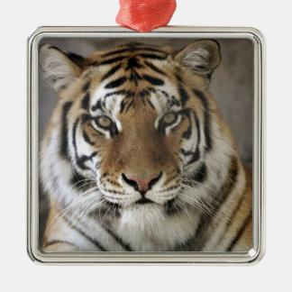 captive Tiger, Folsom City Zoo Sanctuary, Metal Ornament