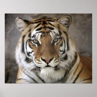 captive Tiger, Folsom City Zoo Sanctuary, Poster