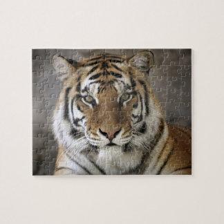 captive Tiger, Folsom City Zoo Sanctuary, Puzzle