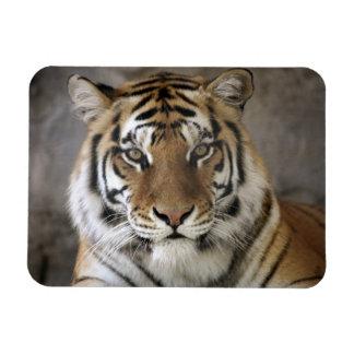 captive Tiger, Folsom City Zoo Sanctuary, Rectangular Photo Magnet