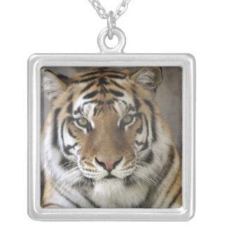 captive Tiger, Folsom City Zoo Sanctuary, Square Pendant Necklace