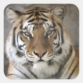 captive Tiger, Folsom City Zoo Sanctuary, Square Sticker