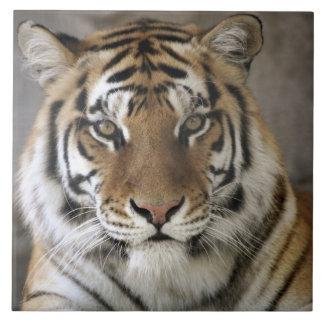 captive Tiger, Folsom City Zoo Sanctuary, Tile