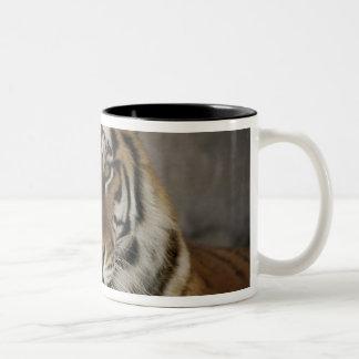 captive Tiger, Folsom City Zoo Sanctuary, Two-Tone Coffee Mug