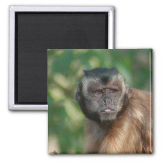 Capuchin Monkey Cute But Cranky 2 Inch Square Magnet