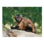 Capuchin Monkey Cute But Cranky Post Card