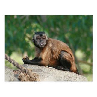 Capuchin Monkey Cute But Cranky Postcard