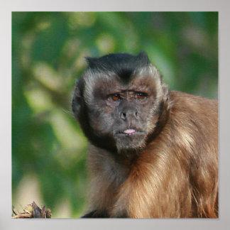Capuchin Monkey Cute But Cranky Poster