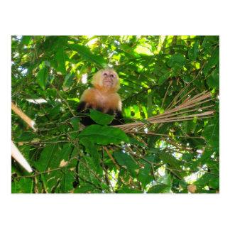 Capuchin Monkey - Manuel Antonio Park, Costa Rica Postcard