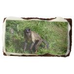 tufted capuchin monkey, monkey, primate, capuchin
