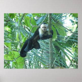 Capuchin Monkey Posters