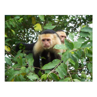 Capuchin monkeys postcard