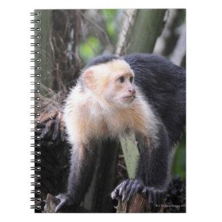 Capuchón de cabeza blanca, capucinus de Cebus. Pla Note Book