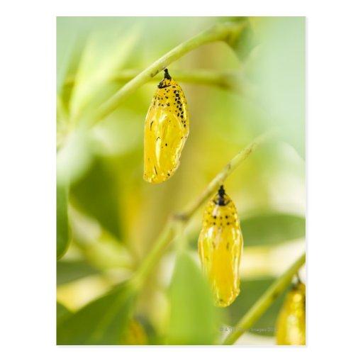 Capullo de la mariposa de papel de la cometa, tarjeta postal