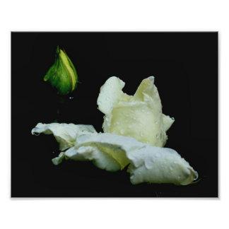 Capullo de rosa blanco macro con la flor de las go impresión fotográfica