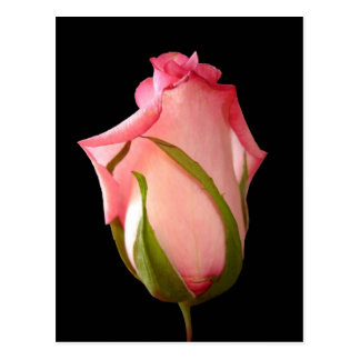 Capullo de rosa rosado con el fondo negro tarjetas postales