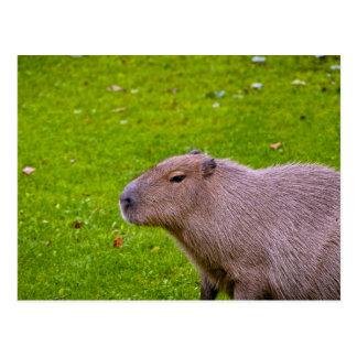 Capybara animal asombroso tarjetas postales