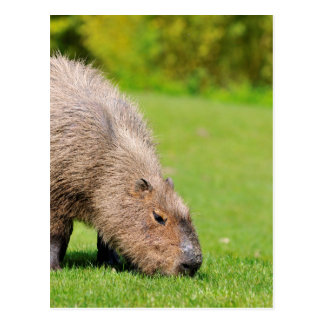 Capybara eating grass postcard